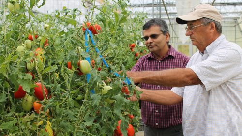 Tomato breeding experts Dilip Panthee and Randy Gardner