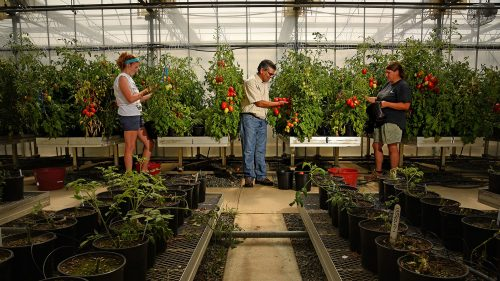 Dilip Panthee (center), researcher at Mountain Horticultural Research and Extension Center, looks over tomatoes in the farm's greenhouse as students tend to the plants.