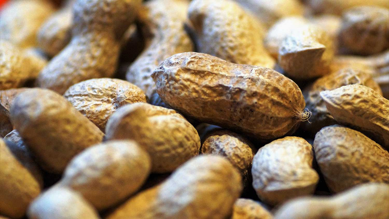 North Carolina peanut breeding varieties