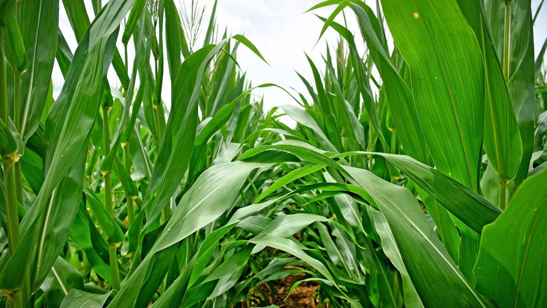 A corn field in North Carolina